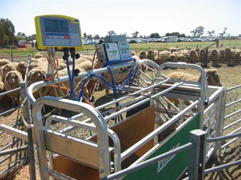 Sheep and electronic identification tagging