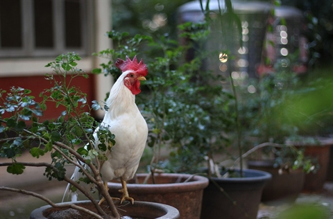 Rooster on a potted plant